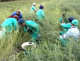 Workers harvest a cultivated field of Sutherlandia